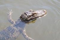 alligator-spread1